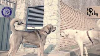 سگ اصیل ایرانی پژدر کردستان
