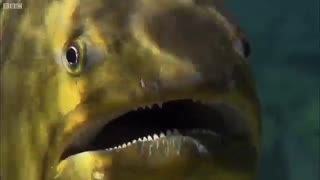 ماهی گوشت خوار و وحشتناک!