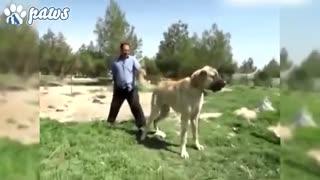 غول ترین سگ های دنیا