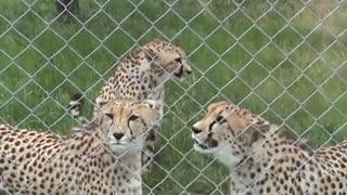 میو میو کردن چیتا