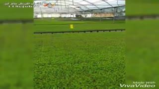 تولید انواع نشاء سیفی جات گلخانه جهان نشاء در مرودشت