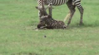 حمله عجیب شیر به بچه گورخر تازه متولد شده
