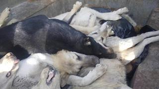 کشتار بیرحمانه سگها با تزریق سم و اسید! +فیلم دلخراش