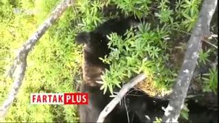 حمله مرگبار خرس به مرد میانسال در جنگل