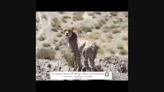 ثبت تصاویری از حضور یوزپلنگ در یک زیستگاه جدید در جنوب استان سمنان