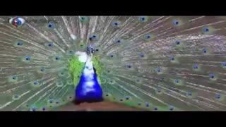 فروش تخم نطفه دار طاووس و قرقاول زینتی
