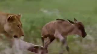 شکار بچه تازه متولد شده گاو وحشی توسط شیر