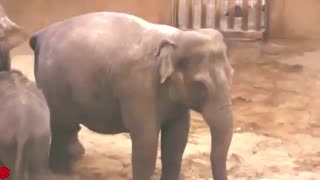 صحنه زایمان کردن فیل