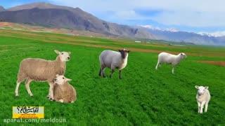 از کجا شروع کنم...پرورش گوسفند به روش نوین