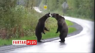 مبارزه خرسهای وحشی غول پیکر در وسط اتوبان