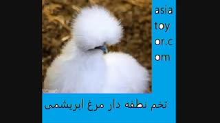 فروش  مرغ و خروس زینتی  شرکت اسیاطیور