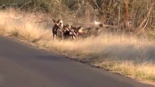 شکار بیرحمانه آهو توسط سگ های وحشی