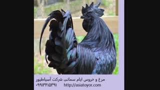 فروش تخم نطفه دار مرغ و خروس ایام سمانی /طیور زینتی