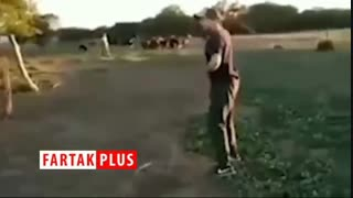 حمله وحشیانه گاو به چوپان برزیلی