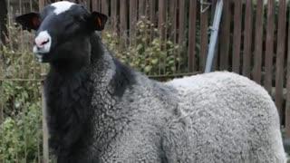 معرفی گوسفند رمانوف