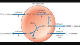 دی اکسید کربن در هموگلوبین-1