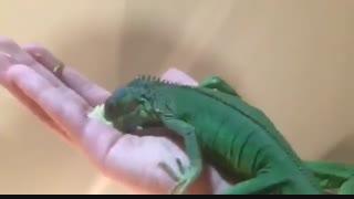 ایگوانا Common Iguanas .