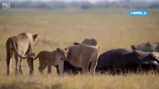 شکار گاومیش توسط ملکه شیرها