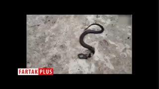 پیدا شدن مار دو سر نادر در هند