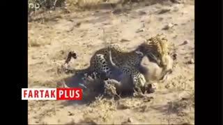 حمله غافلگیرانه پلنگ گرسنه به گراز