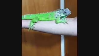 ایگوانای سبز نمایشی .