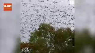 حمله خفاش ها به شهر اینگهام در شمال کوئینزلند استرالیا